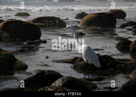 Great Egret in tide pool Leo Carrillo State Park Pacific Coast Highway, Malibu, Calfornia - Stock Image
