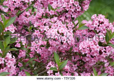 Weigela 'Light Pink' flowers. - Stock Image