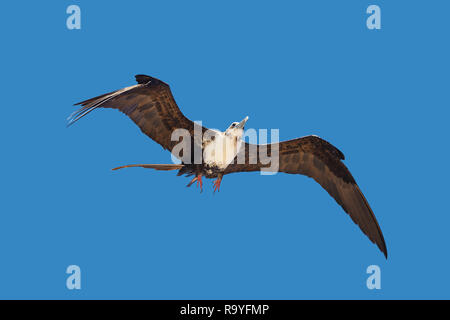 Young adult female Fregata magnificens magnificent frigatebird flying on blue sky background - Stock Image