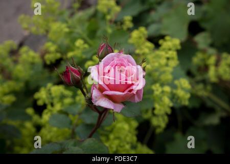 Pink Rose in bloom taken in a garden - Stock Image