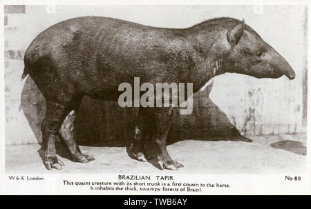 Brazilian Tapir - Native to the thick, swampy forests of Brazil and a first cousin to the horse.     Date: circa 1944 - Stock Image