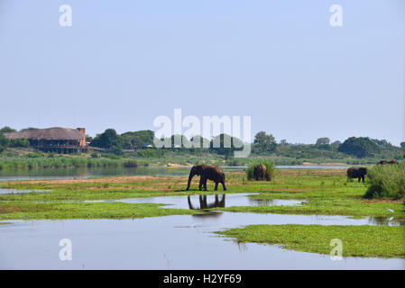 Elephants cooling off in the Lower Sabie  river  with Lower Sabie rest camp in the distance  on the river , kruger - Stock Image