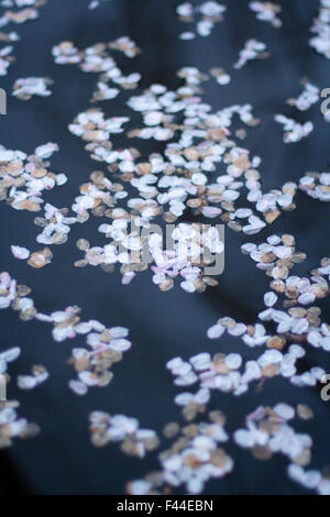Cherry blossom sakura pedals in water angle portrait - Stock Image