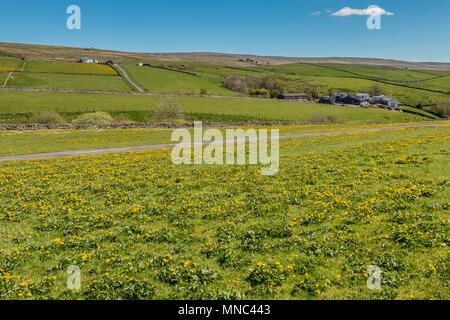 A meadow full of flowering King Cups, Caltha palustris looking towards Bank Top Farm, Ettersgill, Teesdale, UK - Stock Image