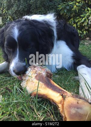 Dog licking large bone - Stock Image