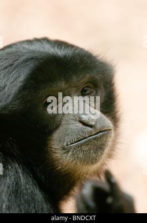 Black monkey - Stock Image