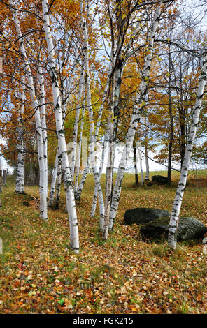 Birch trees during the Indian Summer, New England, USA - Stock Image
