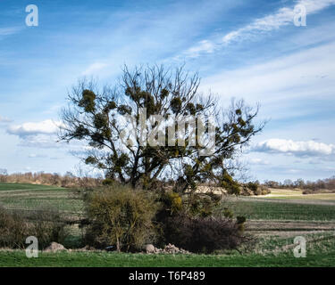 Grassy meadows & bare tree covered with parasitic mistletoe plants in rural Brandenburg, Germany - Stock Image