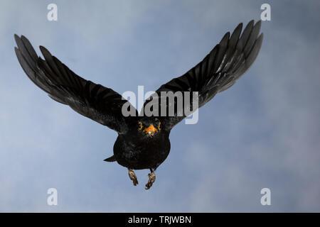 Amsel, Schwarzdrossel, Männchen, Flug, Flugbild, fliegend, Turdus merula, Blackbird, male, flight, flying, Merle noir - Stock Image