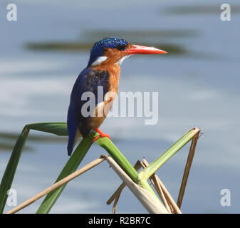 A malachite kingfisher (Corythornis cristatus ) watches the water at the edge of the  Kazinga Channel between Lake George and Lake Edward. Queen Eliza - Stock Image