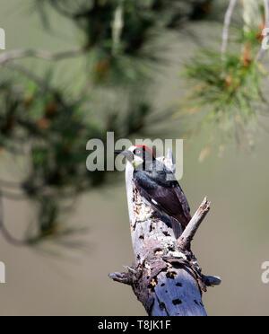 Acorn Woodpecker Male - Stock Image