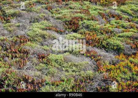 Detail of hillside covered in Iceplant and other shrubs in autumn, Pt. Reyes National Seashore, California, USA. - Stock Image