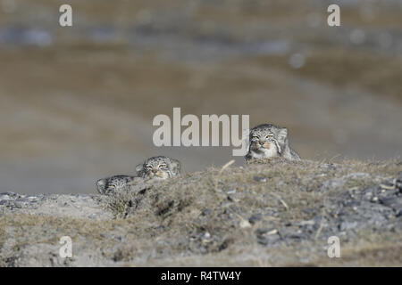 Three Pallas's Cats peeking over a rise - Stock Image