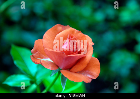 red flowers detail petals rose - Stock Image