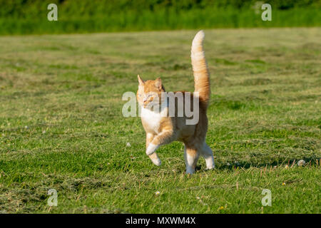 Ginger and white cat running across a grass field - Stock Image