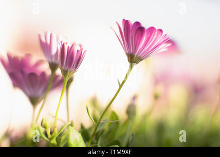 Close up pink flowers - Stock Image