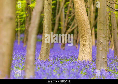 Bluebells (Hyacinthoides non-scripta) in Adams Wood, Frieth, Henley-on-Thames, Buckinghamshire, England, United - Stock Image
