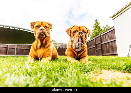 The Dogue de Bordeaux, Bordeaux mastiff, French mastiff or Bordeauxdog is a large French mastiff breed—and one of the most ancient French dog breeds. - Stock Image