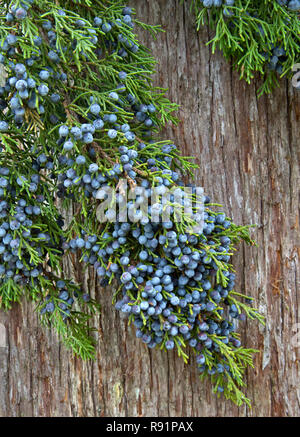 Southern Red Cedar branch displaying young foliage, with mature fleshy blue female cones 'Juniperus silicicola'. - Stock Image