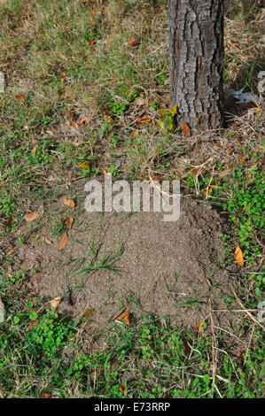 Large fire ant mound - Stock Image