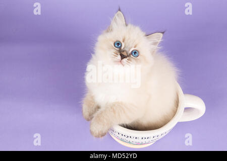 Beautiful kitten of pure bred in a cup - Stock Image