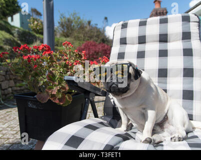 Mousehole, Cornwall, UK. 9th April 2019. UK WEather. Titan the pug up out yet again on his sunlounger this afternoon, as temperatures in south west Cornwall went over 16 degrees C. Credit: Simon Maycock/Alamy Live News - Stock Image