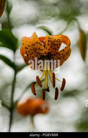 Looking Up into Orange Tiger Lily Blooming in Summer - Stock Image