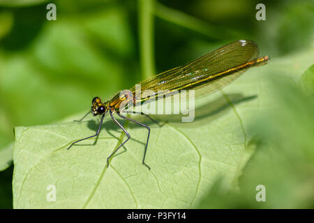 Female banded demoiselle perched on a leaf in the sunlight on a river bank - Stock Image