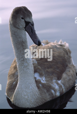 Young Mute Swan Cygnet on water - Stock Image