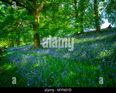 Field of bluebells in the Brecon Beacons, south Wales - Stock Image