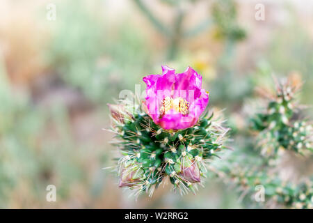 Cane Cholla cactus with vibrant pink flower macro closeup in Main Loop trail in Bandelier National Monument in New Mexico in Los Alamos - Stock Image