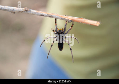 A spider hanging from a stick. - Stock Image