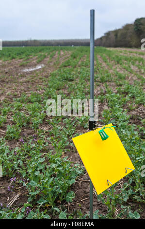 A pollen beetle trap in a field of oilseed rape (canola), set as part of a research project. - Stock Image