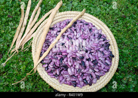 Dried runner beans in a wicker basket. (Phaseolus coccineus) - Stock Image