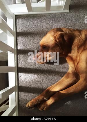 A high angle view of a lazy dog sleeping in a high contrast area with cosy carpets and soft window light - Stock Image