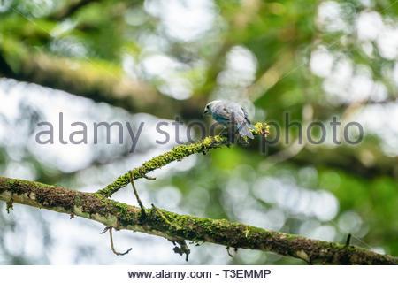Blue-grey Tanager (Thraupis episcopus) taken in Costa Rica - Stock Image