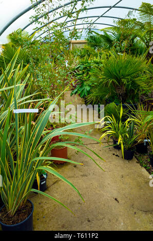 A collection of Palms Ferns and Exotic feature plants for sale in a Durham Garden centre - Stock Image