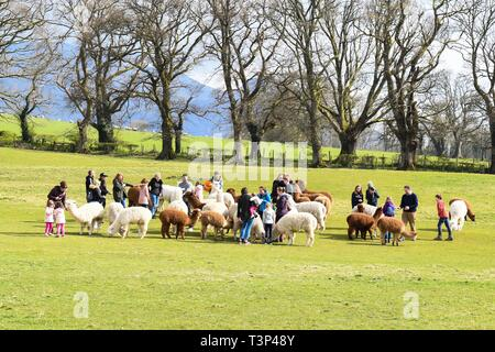 Setmurthy, Nr Bassenthwaite Lake., Cumbria - 11 April 2019: uk weather - a beautiful bright spring day for young families feeding the alpacas at The Lakes Distillery, near Bassenthwaite Lake in Cumbria Credit: Kay Roxby/Alamy Live News - Stock Image