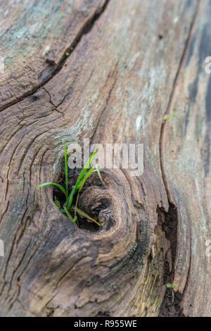 Shallow DoF macro shot of grass growing out from a hole in an old, rotting, felled tree trunk. Showing that plants will grow virtually anywhere. - Stock Image
