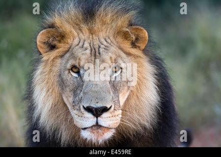 Close-up of Male lion (Panthera leo) - Stock Image