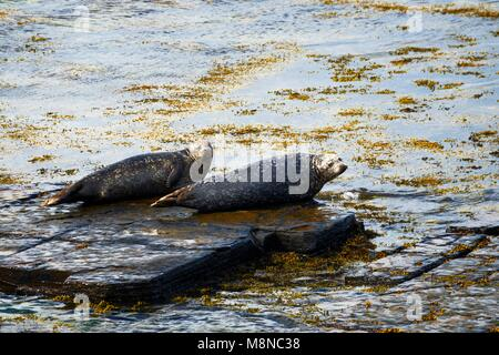 Grey seal seals Halichoerus grypus on Eynhallow Sound shore of Rousay, Orkney, Orkney Islands, Scotland, UK. Adults - Stock Image