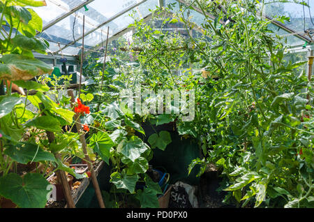 A view of tomato plants and cucumber plats growing inside a greenhouse in a residential garden. - Stock Image