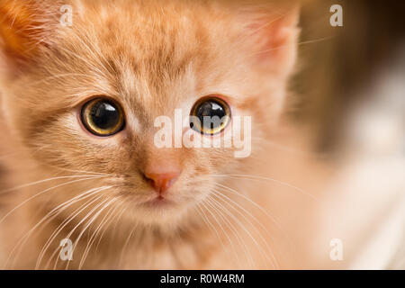 Ginger kitten portrait. Domestic cat 8 weeks old. Felis silvestris catus. Little tabby kitty face staring at camera. Close-up of a scared curious pet. - Stock Image