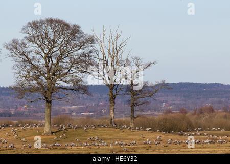 Cranes, Grus grus, Kraniche, Hornborga, Sweden, feeding on meadows with trees close to the lake - Stock Image
