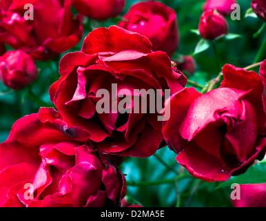 rose bush in full bloom - Stock Image