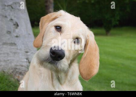 portrait labradoodle puppy sitting in garden - Stock Image