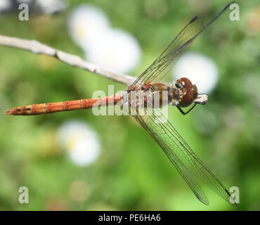A male Common Darter dragonfly (Sympetrum striolatum) perches on a stick surveying its surroundings in a garden. Bedgebury Forest, Kent, UK - Stock Image