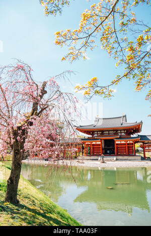Byodo-in temple with spring cherry blossom in Uji, Kyoto, Japan - Stock Image