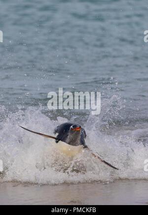 Surfing Gentoo Penguin, Carcass Island, Falkland Islands. - Stock Image