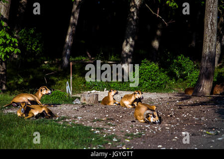 Lying brown cameroon sheep (Ovis aries) in a group at the entrance to the forest. - Stock Image